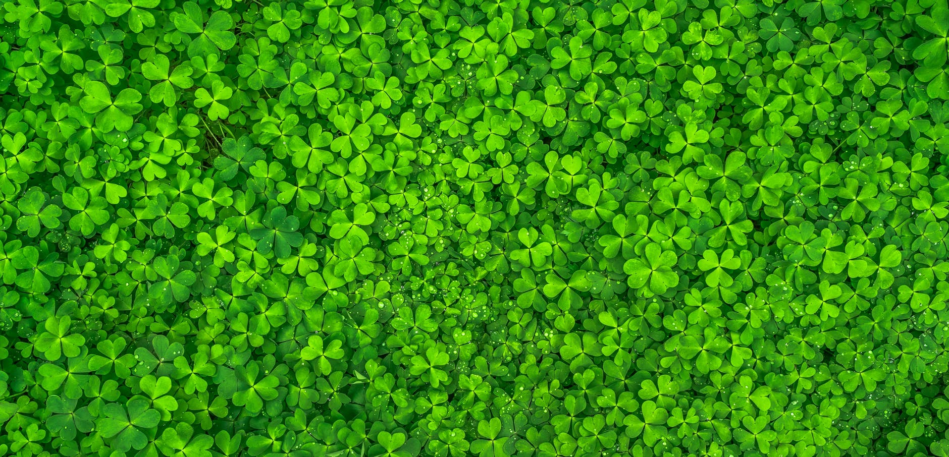 A field of shamrocks, seen from above.