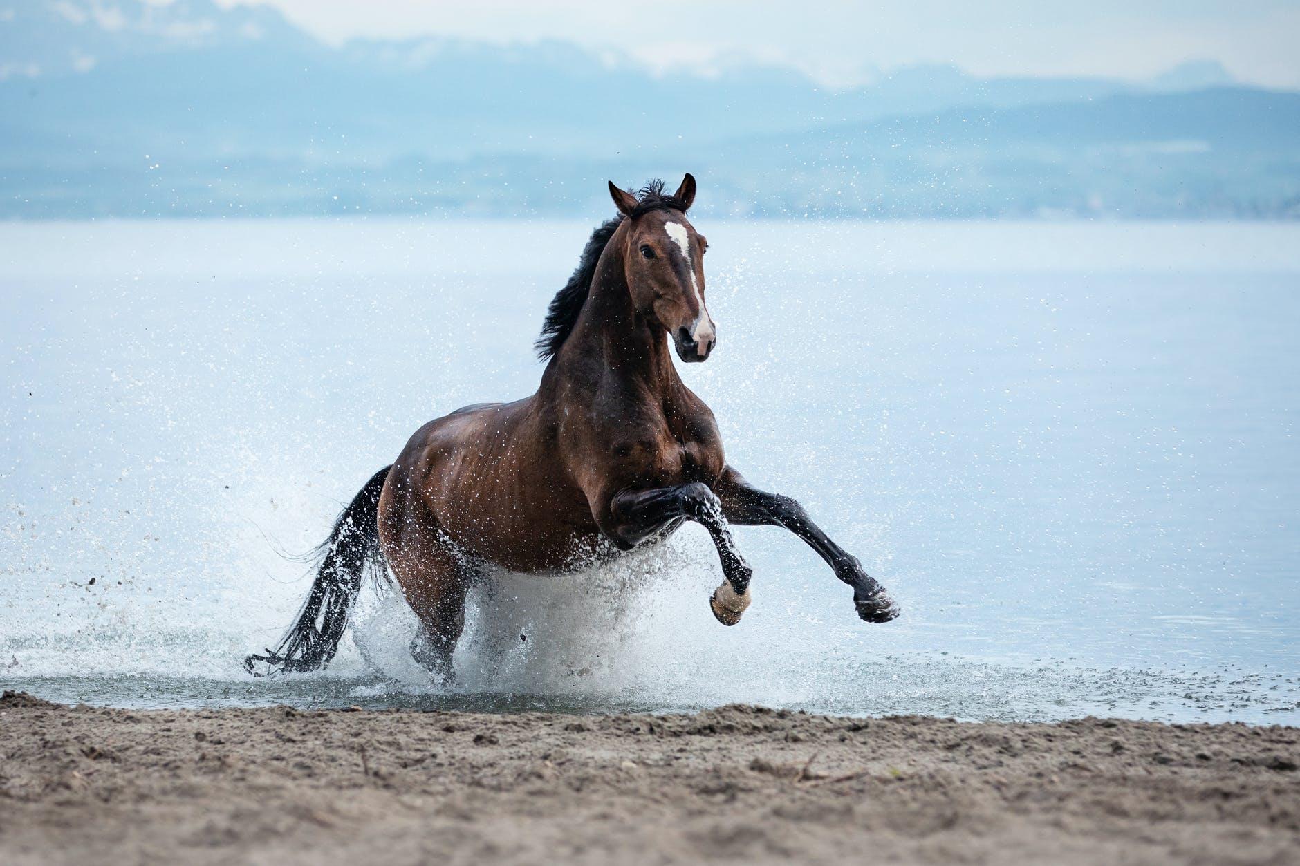 A horse horses along the beach.