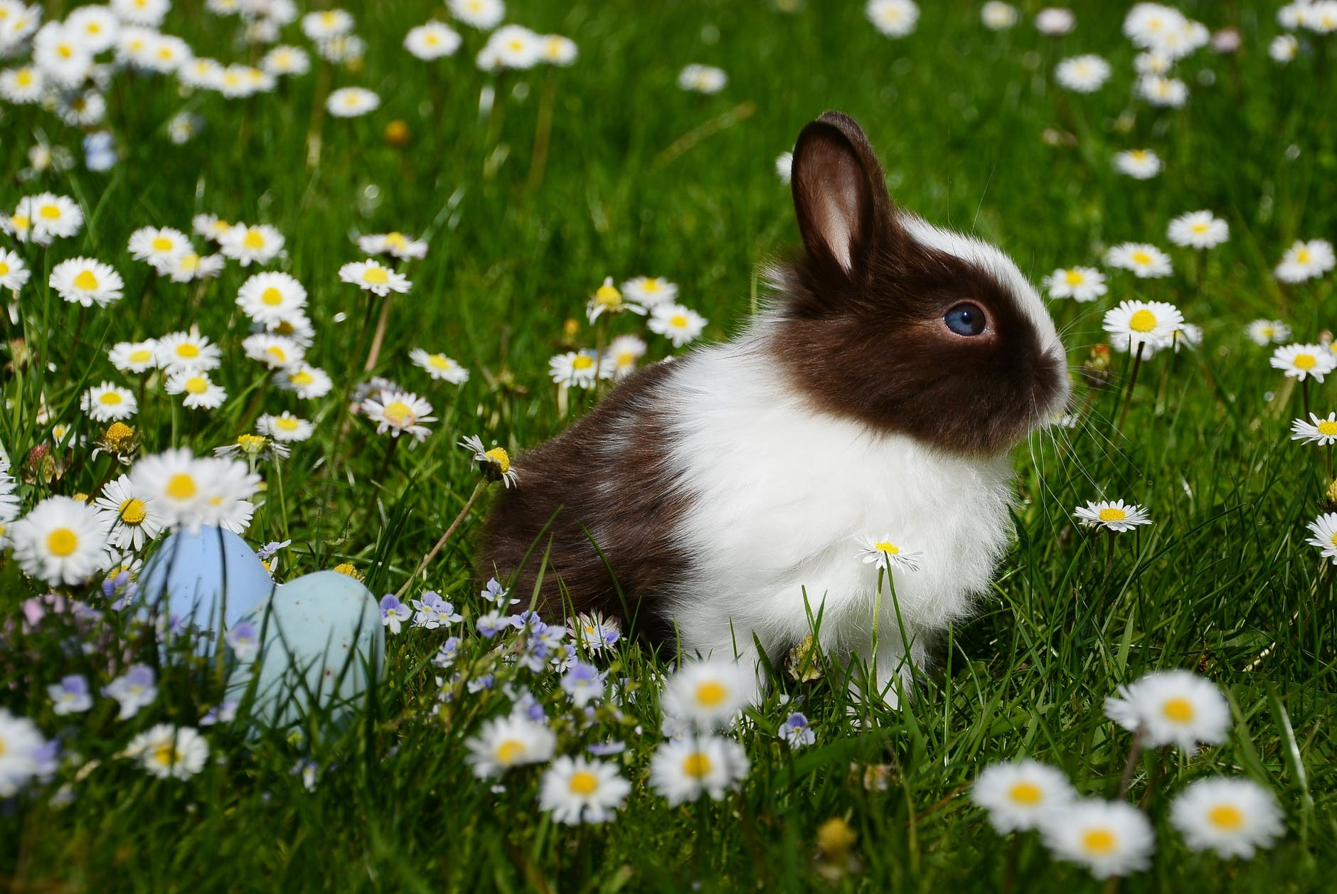 A brown and white rabbit with some eggs in a field of wildflowers.