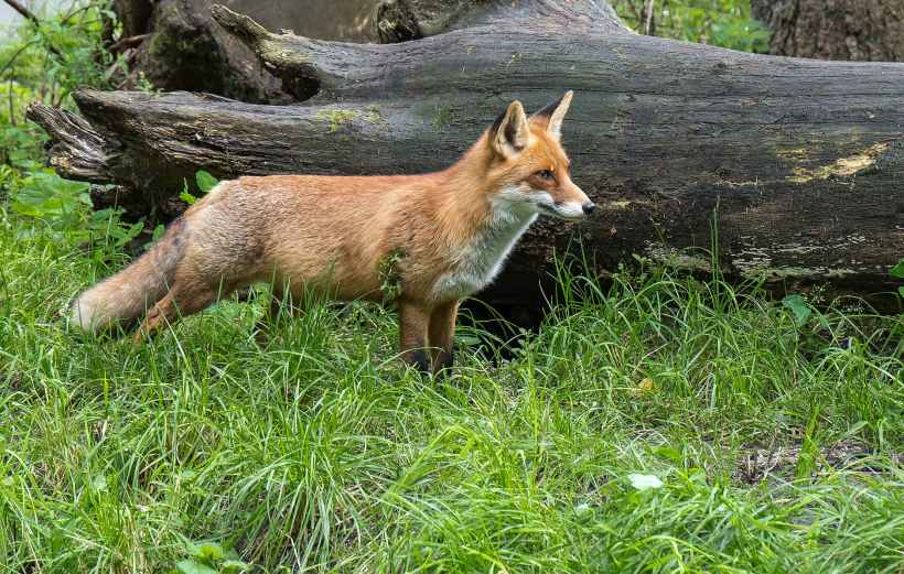 A fox standing in front of a fallen tree.